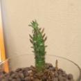 (ヽ´ん`)「観葉植物なんか100均で十分。2年でこれだけ育つ。」