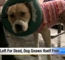 【画像】スーパーの外に繋がれた状態で放置された捨て犬、飢えと寒さに耐え切れず自分の足を食べる