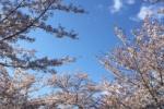 いよいよ来ましたさくら満開!免除川沿いの桜並木道、桜満開になってる!