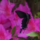 『庭に来る蝶、似ている蝶の見分け方と特徴』の画像