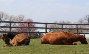 気持ちよさそうに眠る馬たち