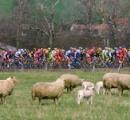 「羊のふん」で選手ら次々倒れる、ノルウェー自転車レース