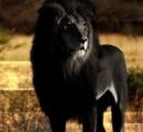 【悲報】アルビノの逆の「真っ黒」の動物、カッコ良すぎる