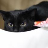 『【里親募集中】日本猫のはっちゃん』の画像