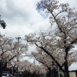 『桜咲く季節     〜講師だってね、・・・〜』の画像