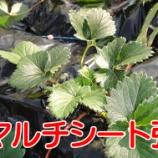 『イチゴ🍓畑に黒マルチシートを張る!(イチゴのターン)#002』の画像