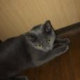 【画像】ワイが飼ってる猫の艶々の毛並みを見てよ