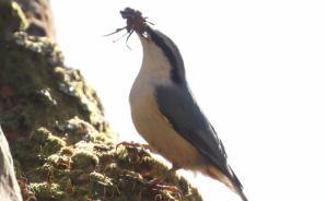 「巣作り中」の野鳥を撮影