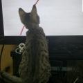 わいんちのネッコ、テレビに夢中