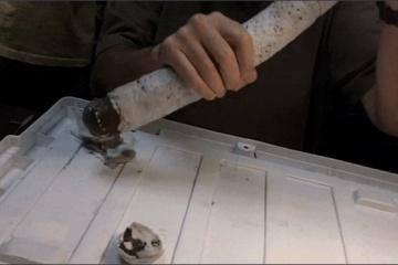 キモすぎ!1.5mの殻を持つ巨大ミミズの新種発見!? 栄養源は硫黄ガス?