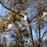 『桜、咲き始めました。』の画像