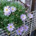 ブルーの紫陽花&ブルーのお花☆