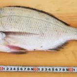 『国東の食環境(233)鯛』の画像