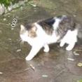 野良ネコが「とことこ」歩いていた。呼んでみた。ごろん♪ → それは人懐っこいモフモフでした…