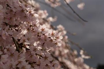 奈良の桜【2016】