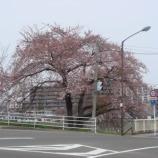 『わが家の桜10 8』の画像