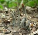【おまえ今日は血色悪いな…】「死者の指」と呼ばれるキノコがこちら…想像以上に怖い!