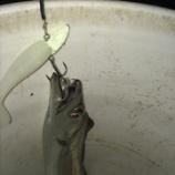 『<太刀魚> 名港太刀魚 15戦目 オンスタックル ワインドシャッドで・・・』の画像