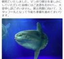 マンボウ最弱伝説 サンシャイン水族館に公開されて1週間で死亡