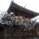 【 梅の花も大寒桜も満開! 】