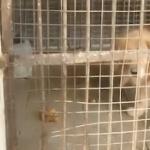 【動画】中国、動物園の檻の中の「ライオン」がどう見ても「ゴールデンレトリバー」…!?