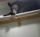 住宅に侵入したクマ 内側から鍵を掛け、のんびり居眠り