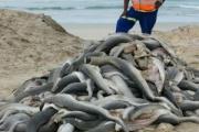【南アフリカ】海岸に大量投棄されたサメの赤ちゃん、頭とヒレが切り取られていた