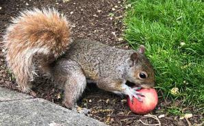 NYの公園でリンゴを食べるリス