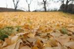 大銀杏の葉っぱが落ちて『金色の絨毯』ができてる!@私市植物園