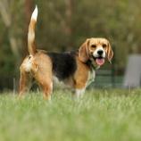 『大切な犬の尻尾:断尾』の画像