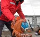 東京湾にマダコが大発生 原因は不明