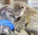 車に跳ねられて肺が破裂した母コアラに寄り添う子コアラに全世界が感動