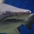 サメの胃から指輪をはめた手を発見…ビーチでシュノーケリング中に行方不明になった男性の結婚指輪と判明!