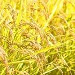 温暖化「コシヒカリの限界近づく」 京都・猛暑に強いコメ開発へ