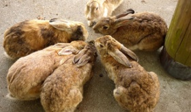 【動物】  日本には ウサギだらけの ウサギ島があるって本当なのか!?  海外の反応