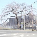 『わが家の桜08』の画像
