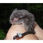 『コウモリ研究の進展』の画像