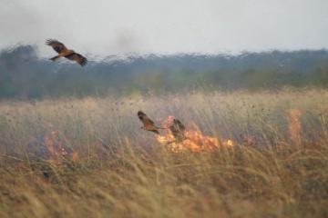 【驚愕】火を使って狩りをする鳥の存在が確認される オーストラリアで発生する大規模な火事の原因にも