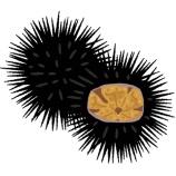 『ウニの食ってるところってキンタマらしいな』の画像