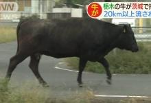 台風19号で栃木から茨城に流された牛がこちら(画像あり)