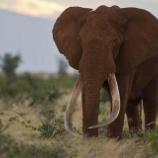 『サタオの命日:巨象絶滅 最後の伝説の巨象サタオ』の画像
