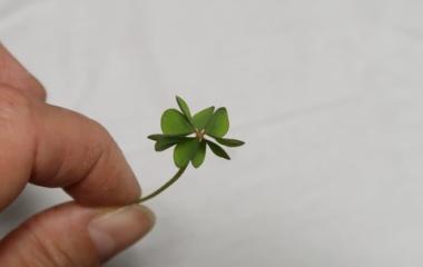 『【ピノ子日記】庭で五つ葉のクローバーを見つけました。』の画像