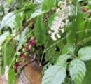 相模川河川敷 食べると死亡する毒性植物が繁殖