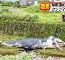台風のせいで川にクジラが打ち上がる マッコウの幼体か 沖縄