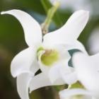 『デンドロビウムの植え替えとかわいい花を咲かせる方法』の画像
