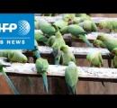 1日の稼ぎの半分を餌代に費やし、インコ8000羽飼育=インドのインコ愛好家(動画)