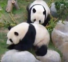 「ジャイアントパンダにもプライバシーが必要?」新型コロナで休園したら10年越しの自然交配に成功