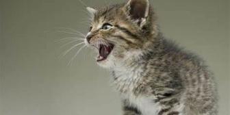 飼ってる猫の鳴き癖が異常で、何してあげてもずっと鳴いてる。もうノイローゼでころしてしまいそう