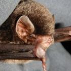 『分水嶺のコウモリ』の画像