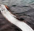 リュウグウノツカイ、深海魚のはずが浅瀬で泳ぐ姿を発見、敦賀